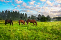 Horses27