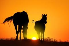 Horses31