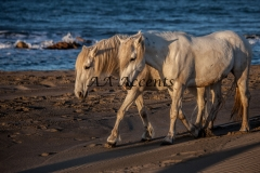 Horses33