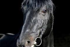 Horses42