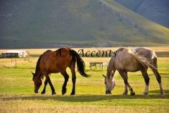 Horses36