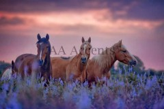 Horses55