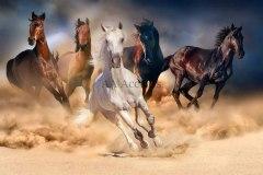 Horses68